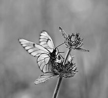 Butterfly on a flower by Luigi Masella