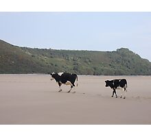 Cows Go On Holiday Too Photographic Print