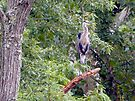 Great Blue Heron by FrankieCat