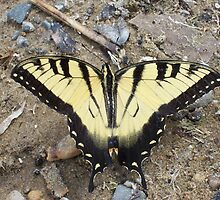 Eastern Tiger Swallowtail Butterfly by Nikki Smith