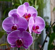 Vanderbilt Orchids 1 ~~ Phalaenopsis Orchid by barnsis