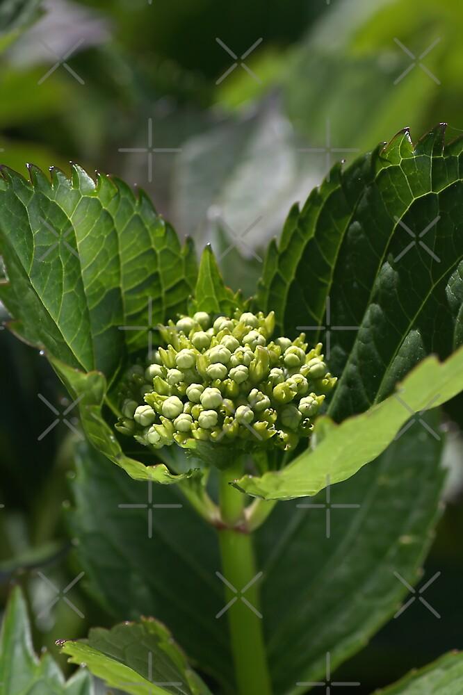 Green Buds Of Hydrangea by Joy Watson