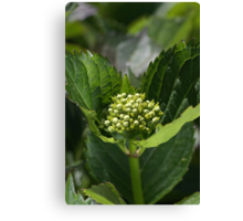 Green Buds Of Hydrangea Canvas Print