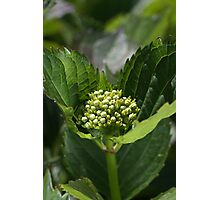 Green Buds Of Hydrangea Photographic Print
