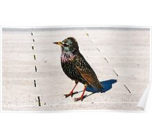 The Starling by Ernie Dickey Poster