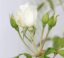 White Rose by Kimberly  Saulsberry