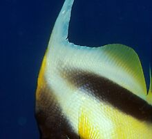 bannerfish by MikMoxter
