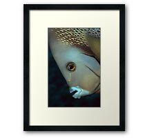 gray angelfish Framed Print