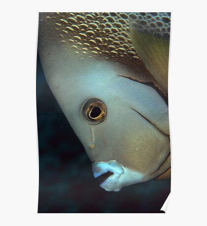 gray angelfish Poster