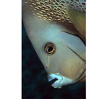 gray angelfish Photographic Print