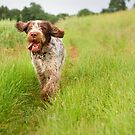 Italian Spinone ~ Robyn by heidiannemorris