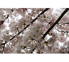 A Cloud of Cherry Blossoms Photographic Print