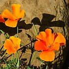 California Poppies - Crisp Shadows From the Desert Sun  by Georgia Mizuleva
