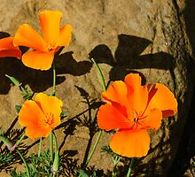 California Poppies - Crisp Shadows In the Desert Sun  by Georgia Mizuleva