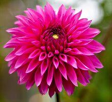 Pink Pet by julescg