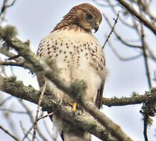 Red Tail Hawk by Poete100