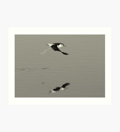 Pied Stilt, New Zealand Art Print
