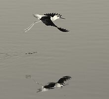 Pied Stilt, New Zealand by Will Parsons