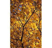 Yellow Maple 3 Photographic Print