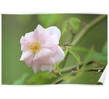 Heritage Rose Poster