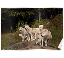 Arctic Wolf Pack - Montebello, Quebec Poster
