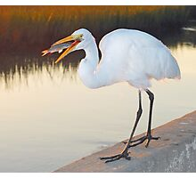 Great White Heron with dinner Photographic Print