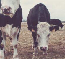 Curious Cows Sticker
