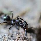 Micro Ant by David Petranker