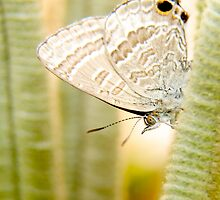 Female Cycad Blue Butterfly by NaturalCultural