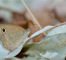 Resting Dusky Knight Butterfly by NaturalCultural