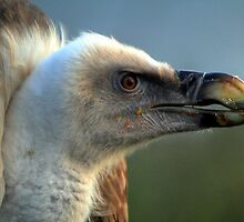 Griffon Vulture  by larry flewers