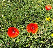 Poppies by th0rtilla