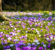 Ness Botanic Gardens - Naturalised Crocuses by Joe Wainwright