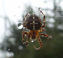 Spider by Vicki Spindler (VHS Photography)