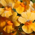 Nemesia Strumosa named Angelart Pear by JMcCombie