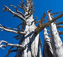 Three Skeletal Trees With Blue Sky by studiojanney