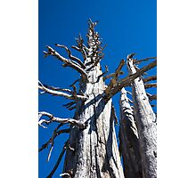 Three Skeletal Trees With Blue Sky Photographic Print