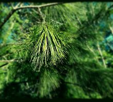 Pine by photosbyliz