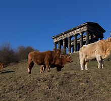 Monumental Cattle by Graeme  Hunt