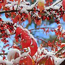Snow on Red Leaves by TrendleEllwood