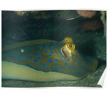 Blue spotted Stinger ray side view Poster