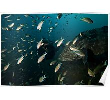 Diver w/ Giant Grouper Poster