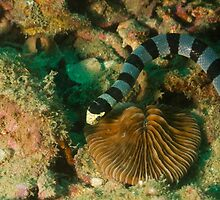 Banded Sea Snake by Kenji Ashman