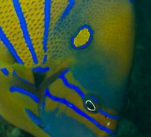 Portrait Blue ringed Angelfish by Kenji Ashman