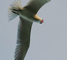 Caspian tern attack by Will Parsons