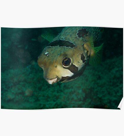 Portrait Black-blotched Porcupinefish Poster