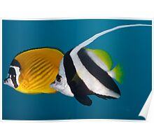 Bannerfish and Raccoon Butterflyfish Poster