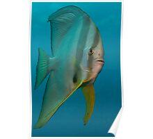 Portrait Batfish(Platax orbicularis) Poster