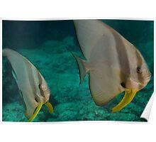 Wide angle of Batfish Poster