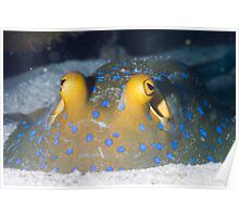 Close up Bluespotted ribbon tail ray Poster